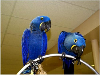 Hyacinth Macaw baby parrots1