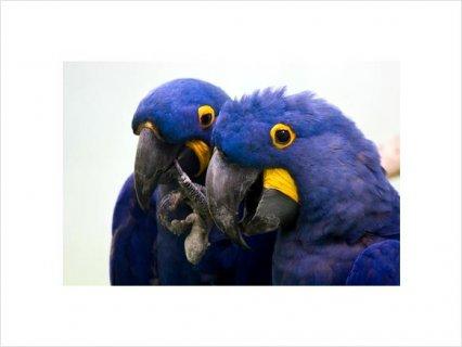 Hyacinth Macaw Breeding Adults22