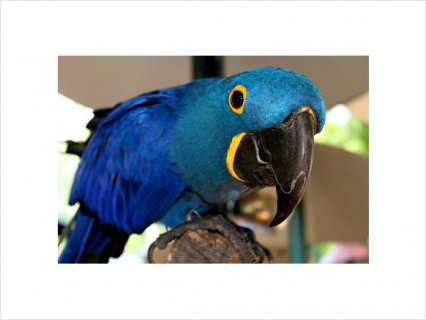 صور Hyacinth Macaw Breeding Adults22 2