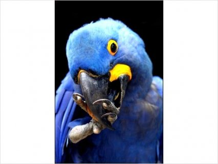 صور Hyacinth Macaw Breeding Adults22 3