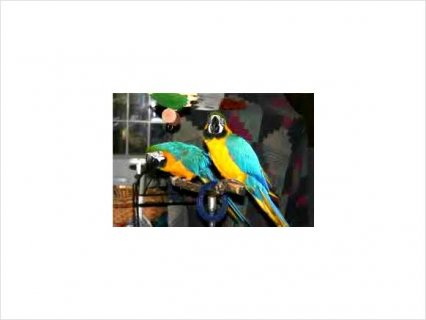 Female and Male macaw22