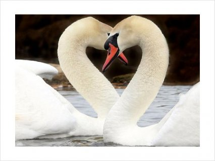 Beautiful PAIR WHITE MUTE BREEDER SWANS FOR SALE2