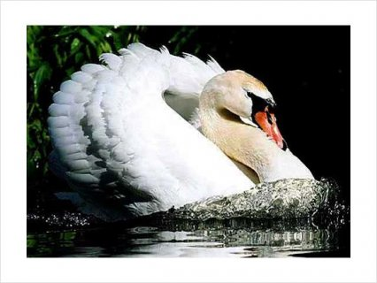 صور Beautiful PAIR WHITE MUTE BREEDER SWANS FOR SALE2 2