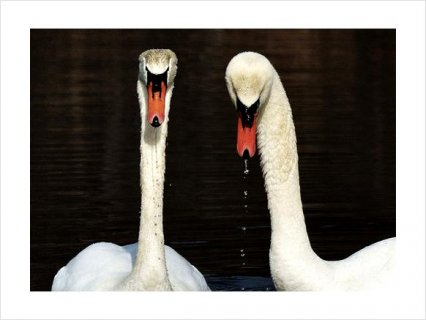 صور Beautiful PAIR WHITE MUTE BREEDER SWANS FOR SALE2 3