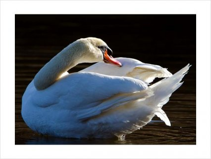 صور Beautiful PAIR WHITE MUTE BREEDER SWANS FOR SALE2 4