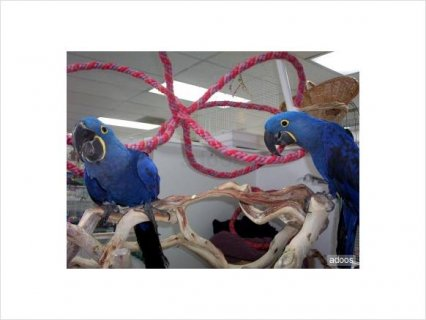 Hyacinth Macaw for adoption