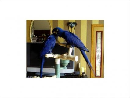 Hyacinth MACAW PROVEN PAIRS FOR RE-HOMING