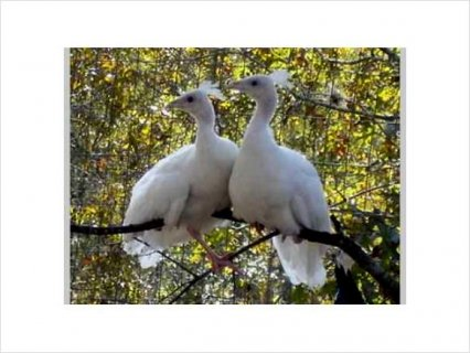 White BABY PEACOCKS (PEACHICKS) FOR SALE- WILL SHIP1