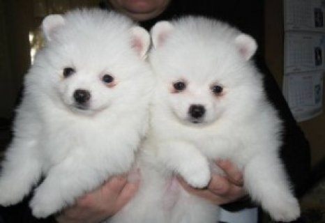 Playful Pomeranian Puppies Available