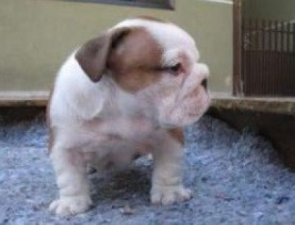 صور English Bulldog Puppy 1