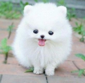 Excellent Pomeranian Puppies