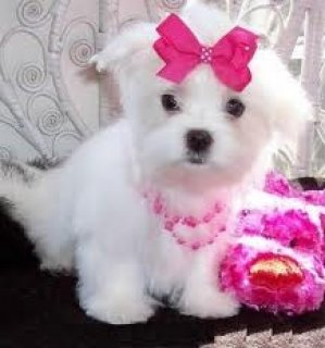 ADORABLE MALTESE PUPS