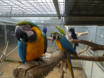 صور Friendly Parrots, Macaws, African Grey, Kea, Cockatoo, Amazon 2