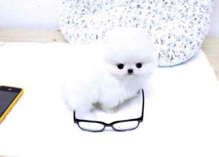 Gorgeous Pomeranian ready to go home now