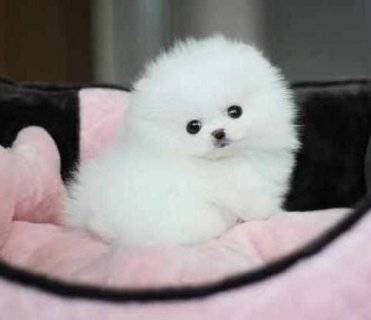 صور    Dorable and Healthy Male And Female Tiny teacup Pomeranian pu 1