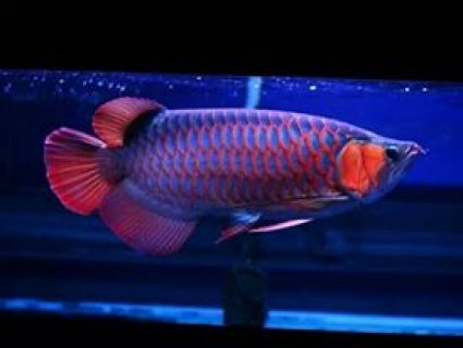super red arowana fish for home decoration.