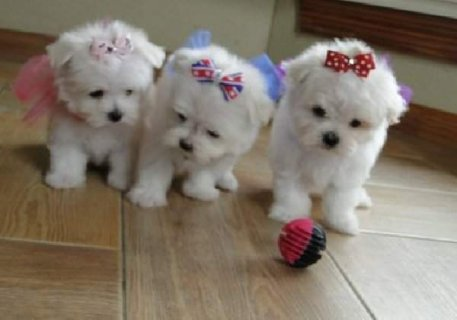 Champion Tea Cup Maltese Males and Females for caring and loving