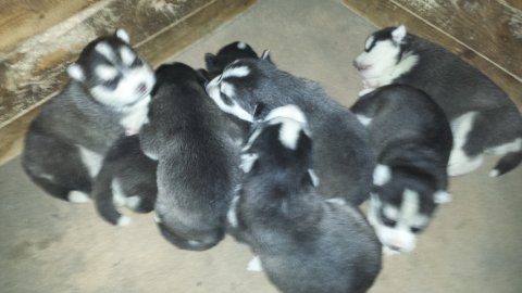 صور Purebred male and female siberian husky  puppies 2