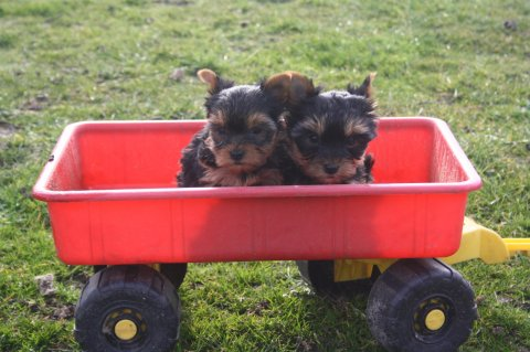 صور Cute male and female tiny teacup YORKSHIRE puppies for  Adoption 1