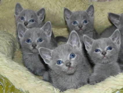 صورة 2 British short hair Kittens Available