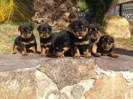 صور AKC Registered Rottweiler puppies for sale 2