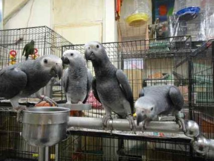 صور Talking African Grey Parrots with healthy and tame Chicks 1
