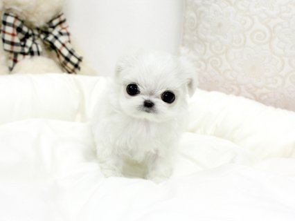 صور white teacup maltese puppies males and females for sale 1
