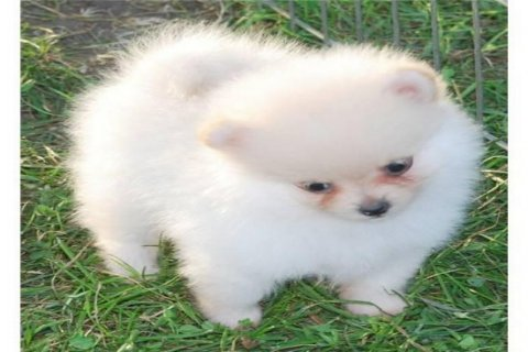 صور  Pomeranian Puppies for adoption 1