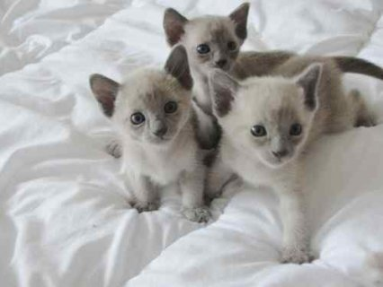 صور 3 Beautiful Pedigree Tonkinese Kittens For Sale 1