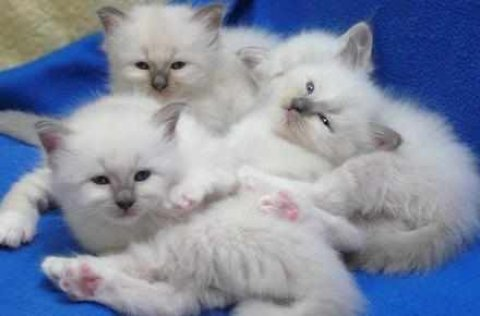 Birman Kittens,5 Gen Pedigree, GCCF Reg for adoption