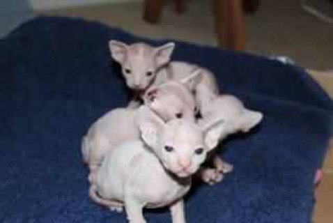 Adorable male and female Sphynx Kittens Available