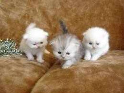 صور Three Tiny Teacup Persian kittens for adoption 1