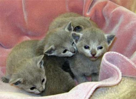 Russian Blue Kittens for re homing
