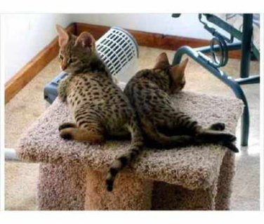صور I have caring and affectionate Savannah kittens for Rehoming 1