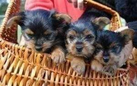 Excelent male and female Teacup Yorkie Puppies For Adoption