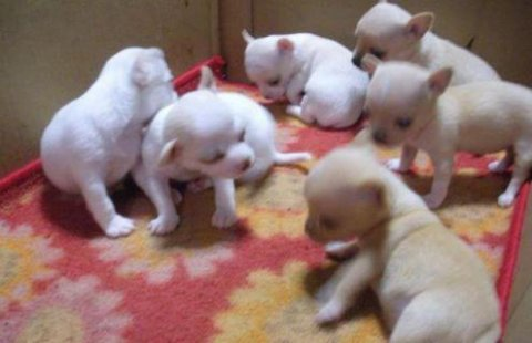 White Tea cup chihuahua puppies Male and Female for sale