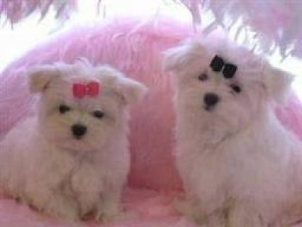 صور Black Nose Maltese Puppies for Adoption 1
