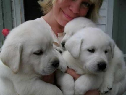 We offer lovely male and female Labrador Retriever for adoption