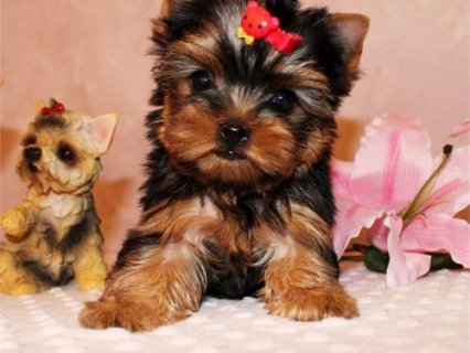 2 Teacup yorkie puppies