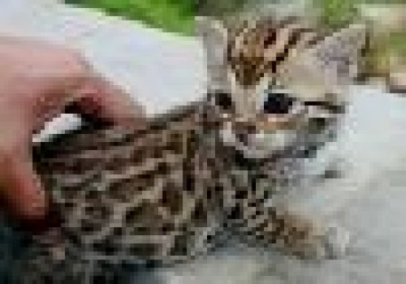 صور Adorable Male and Female Savannah Kittens Ready 1