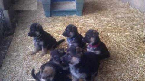 Cute German Shepherd Dog Puppies for adoption