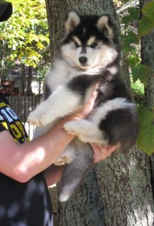 صور Registered Blue Eyes Siberian Husky Puppies 1