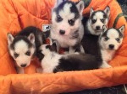 صور Husky Puppies for adoption 1