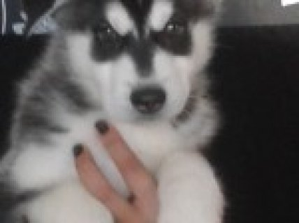 Siberian Husky for rehoming