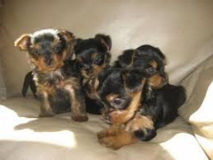 صور Top Quality Male and Female Yorkshire Terrier Pups For Xmas 1