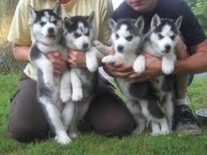 New Breed Siberian Huskies Puppies For Xmas