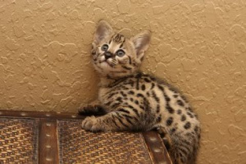 صور Extremely spotted savannah kittens available>>> 1
