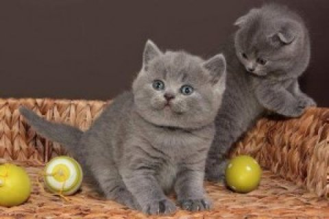 صور British Short/Long Hair Kittens For Sale>>> 1