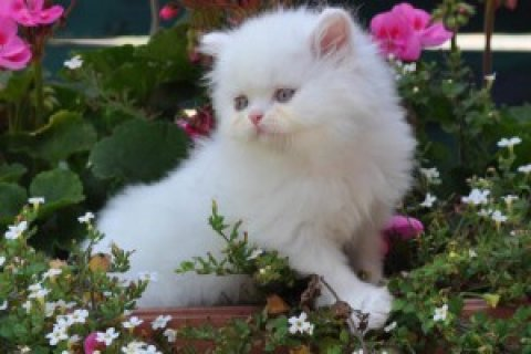 صور Persian Kittens Available<><> 1