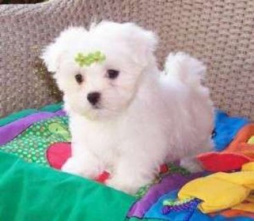صور Adorable Maltese Puppies For Sale 1
